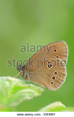 Ringlet (Aphantopus hyperantus), North Rhine-Westphalia, Germany - Stock Photo
