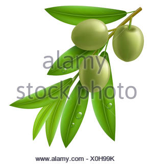 Branch of olive tree with green olives and leaves with drops on them. - Stock Photo