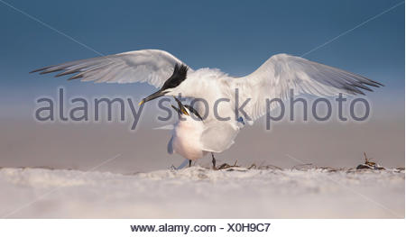 Mating Sandwich Tern birds (Thalasseus sandvicensis) on beach, Florida, America, USA - Stock Photo