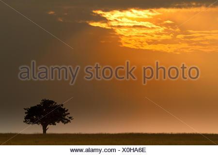 tree in savanna at sunrise, Kenya, Masai Mara National Park - Stock Photo