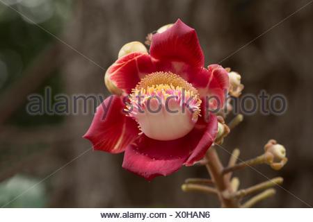 Canon ball flower, Couroupita guianensis, Lecythidaceae, Mumbai, Maharashtra, India - Stock Photo