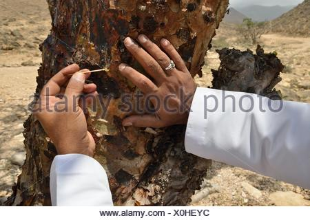 Local man harvesting the precious resin of an Frankincense Tree (Boswellia sacra), near Mughsayl, Dhofar Region, Orient, Oman - Stock Photo