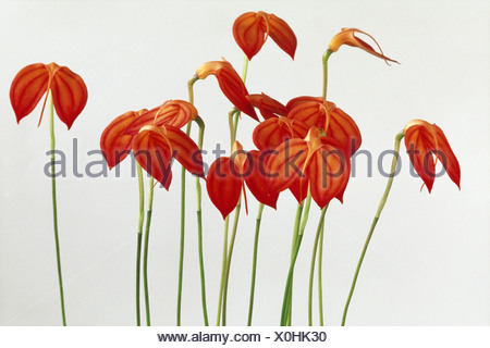Orchid Masdevallia ignea a flower with red petals and straight stems - Stock Photo