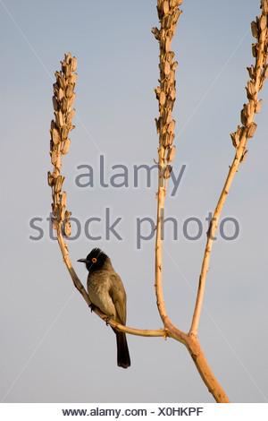 African Red-eyed Bubul Perching on Dessicated Reed, Vingerklip, Namibia - Stock Photo