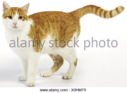 Hauskatze, Europaeisch Kurzhaar, rot-weiss, stehend - Stock Photo