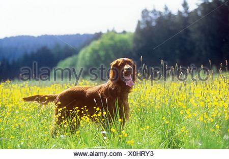 Irish Red Setter - standing on meadow - Stock Photo