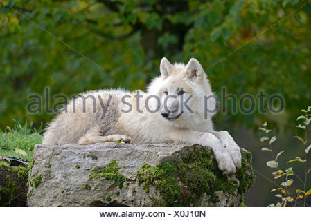 Arctic wolf lying on a rock Alpha male of the pack of wolves Animal Park St. Croix - Stock Photo