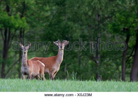 red deer (Cervus elaphus), hart and hind, Germany, Schleswig-Holstein - Stock Photo