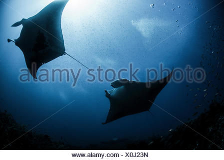 Silhouetted reef manta rays swimming around underwater pinnacle north Yucatan Peninsula Cabo Catoche Quintana Roo Mexico - Stock Photo
