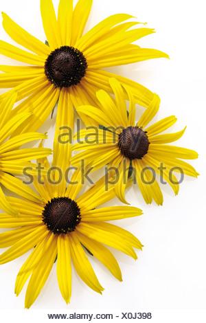 Black-eyed Susan or Brilliant Coneflower (Rudbeckia fulgida) - Stock Photo