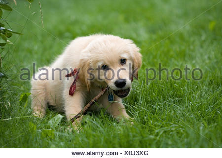 Golden Retriever puppy chewing on a branch, Germany - Stock Photo