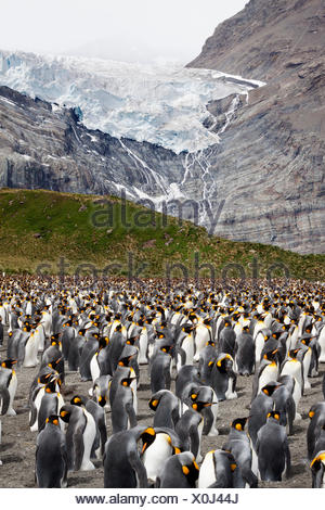 King penguin (Aptenodytes patagonicus) breeding colony with adults incubating eggs, Bertrab Glacier in the background, Gold Harb - Stock Photo
