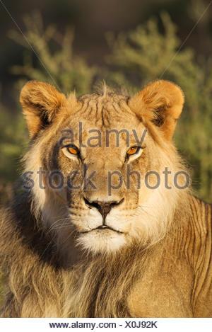 Lion (Panthera leo), male, resting, portrait, Kalahari Desert, Kgalagadi Transfrontier Park, South Africa - Stock Photo
