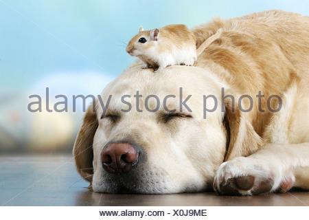 animal friendship: Labrador Retriever - sleeping with gerbil on head - Stock Photo