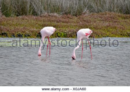 Lesser Flamingos (Phoenicopterus minor), West Coast National Park, Langebaan, Western Cape, South Africa - Stock Photo
