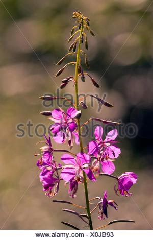 Fireweed, blooming sally, Rosebay willow-herb, Great willow-herb (Epilobium angustifolium, Chamerion angustifolium), inflorescence in backlight, Germany, Rhineland-Palatinate - Stock Photo