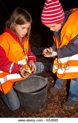 European common toad (Bufo bufo), two girls collecting toads in a bucket at a roadside during a nightly toad migration in order to carry them to the other side, Germany, North Rhine-Westphalia - Stock Photo