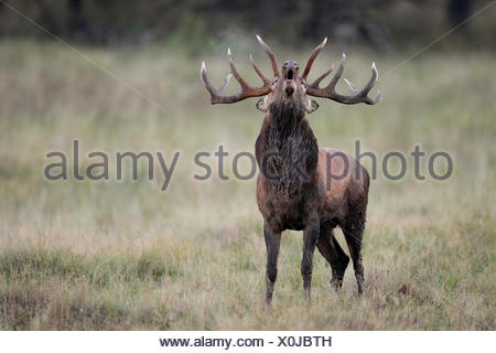 Red deer stag rutting - Stock Photo