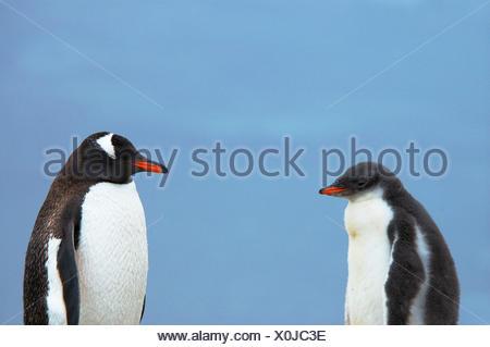 Gentoo Penguin (Pygoscelis papua) adult with chick, Antarctica. - Stock Photo