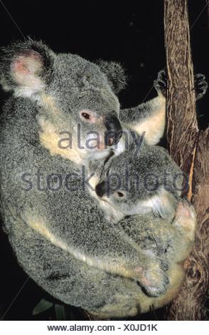 Koala or ash-grey koala,Phascolarctos cinereus,mother animal,young animal,Australia, - Stock Photo