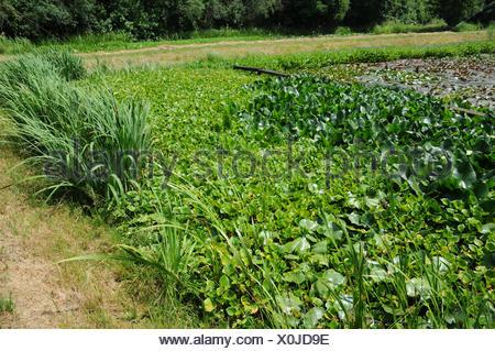 Water arum - Stock Photo