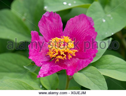 Peony (Paeonia sp.), flowering, Thuringia, Germany