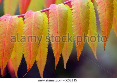 Stag´s horn sumach in autumn (Rhus typhina) (Rhus hirta) - Stock Photo