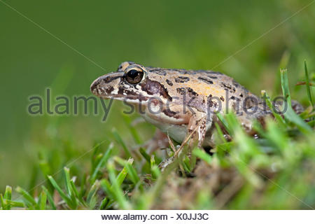 photo of a clicking stream frog on grass - Stock Photo