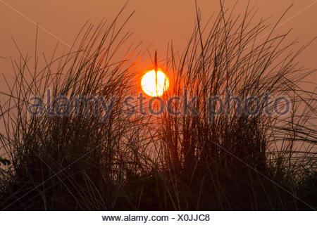 dune grass in front of sunset, Germany, Lower Saxony, Spiekeroog - Stock Photo