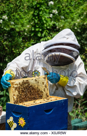 A beekeeper removing frames from the bee hive. - Stock Photo
