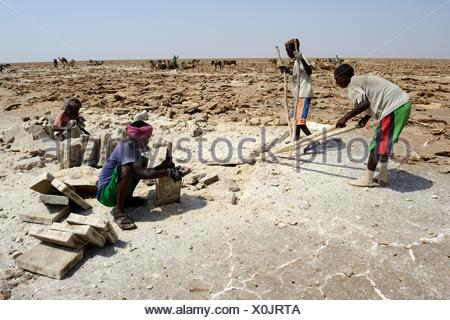 Salt mining at the lake Assale. The salt ist cut and lifted from the ground by Afar cutters, Danakil depression, Afar region, - Stock Photo