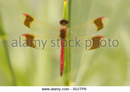 A male Banded Darter (Sympetrum pedemontanum) resting on a blade of grass - Stock Photo