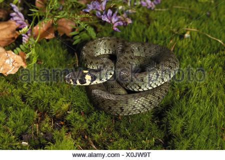 grass snake - lying on moss / Natrix natrix - Stock Photo