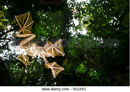 Male Wallace's Flying Frog flying/gliding down to temporary pools on the forest floor, Sabah, Borneo (Rhacophorus nigropalmatus) - Stock Photo