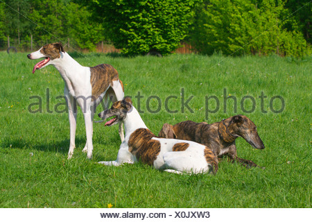 Spanish Greyhound (Canis lupus f. familiaris), three Greyhounds of different age, fur structure and colouration together in a meadow, Germany - Stock Photo