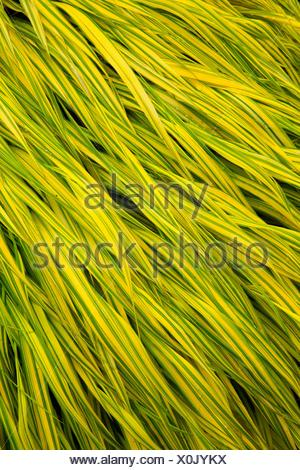 Japanese forest grass (Hakonechloa macra), Oregon Garden, Silverton, Oregon. - Stock Photo