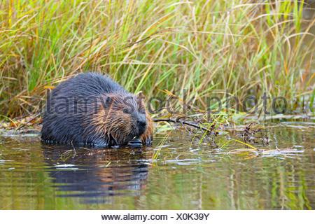 North American beaver, Canadian beaver (Castor canadensis), sits on shore feeding, Canada, Ontario, Algonquin Provincial Park - Stock Photo