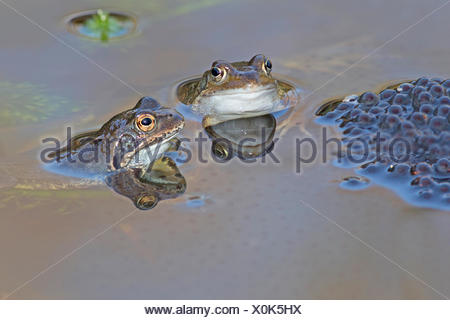 Duo common frogs near frog spawn - Stock Photo