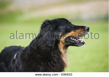 Hovawart Portrait - Stock Photo