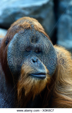 Sumatran Orangutan (Pongo abelii), old male, portrait, Cologne Zoo, Cologne, North Rhine-Westphalia, Germany - Stock Photo