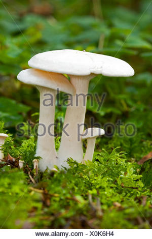 White Domecap (Clitocybe connata, Lyophyllum connatum), fruiting bodies on forest ground, Germany - Stock Photo