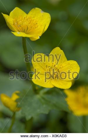 kingcup, caltha palustris - Stock Photo