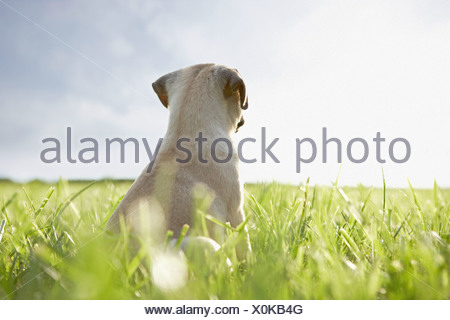 pug dog - puppy - sitting on meadow - Stock Photo