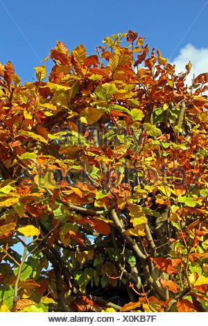 common beech (Fagus sylvatica), beech hedge with autumn leaves, Germany, North Rhine-Westphalia - Stock Photo