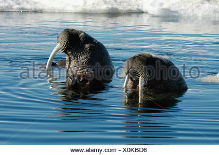 Walrus  - Stock Photo