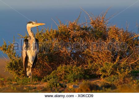 grey heron (Ardea cinerea), standing at the coast in evening light, Canary Islands, Fuerteventura - Stock Photo