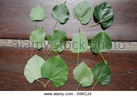 Tilia-leaves - Stock Photo