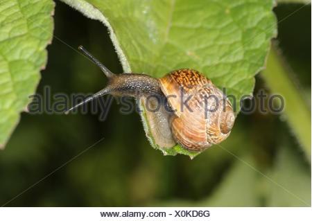 Copse Snail - Arianta arbustorum - Stock Photo