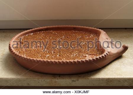 garden cress (Lepidium sativum), sowings in hedgehog bowl - Stock Photo