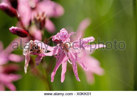 Germany, Bavaria, Cuckoo flower, close up - Stock Photo